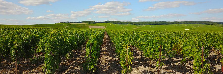Vignoble de Bouzy, la Côte des Noirs